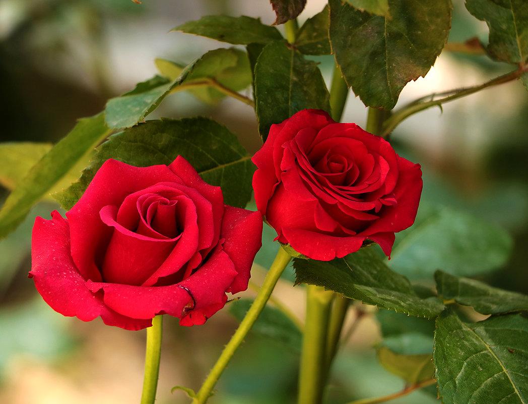 Время цветения роз - Светлана