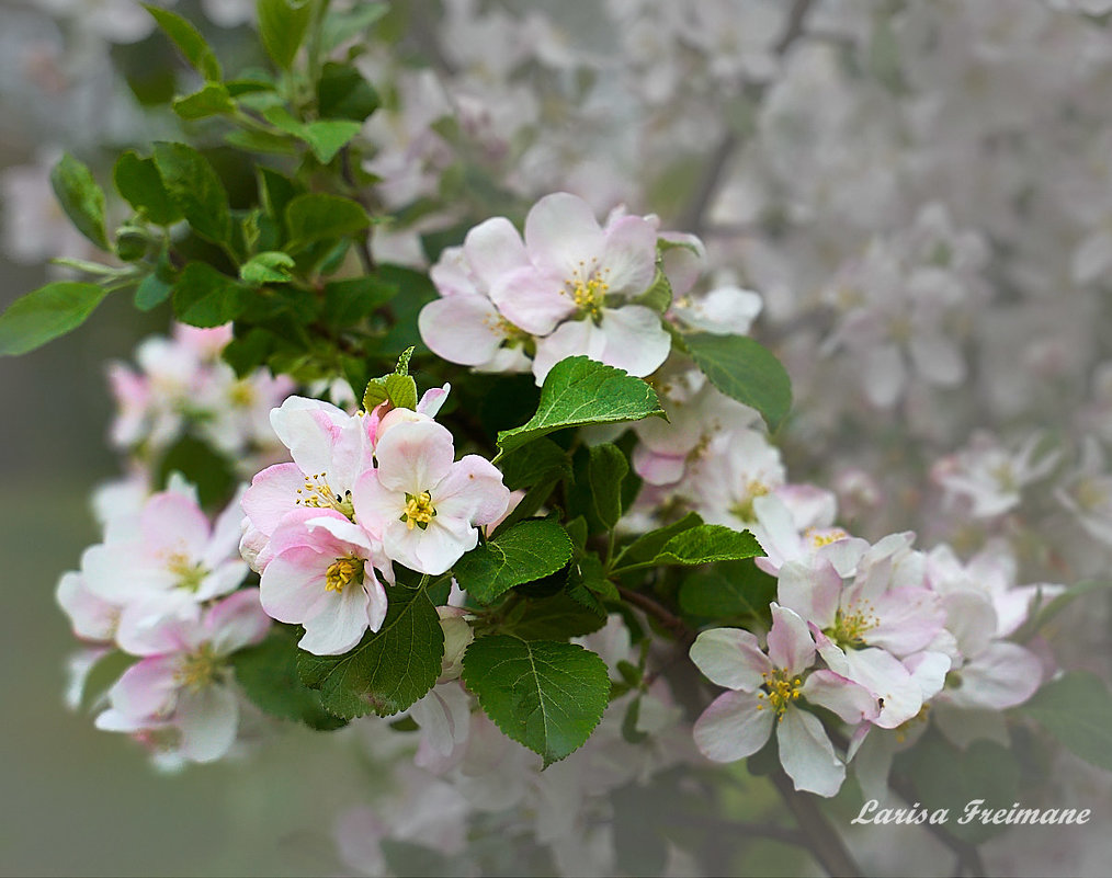 Цветущая яблоня - Larisa Freimane