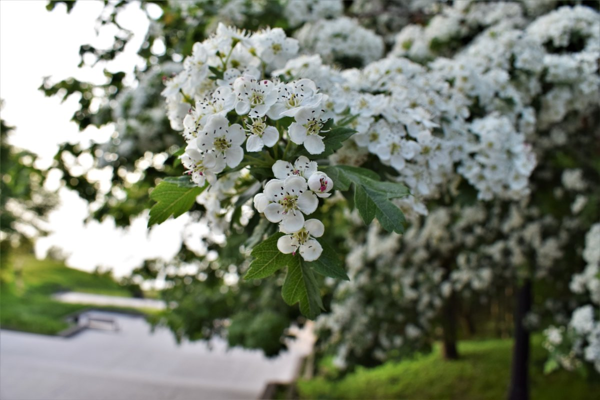 цветет боярышник - Марина