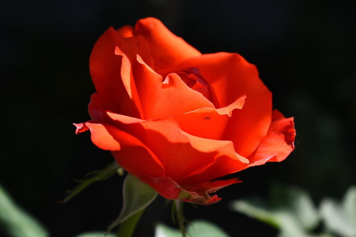 Аленький цветочек. - Константин