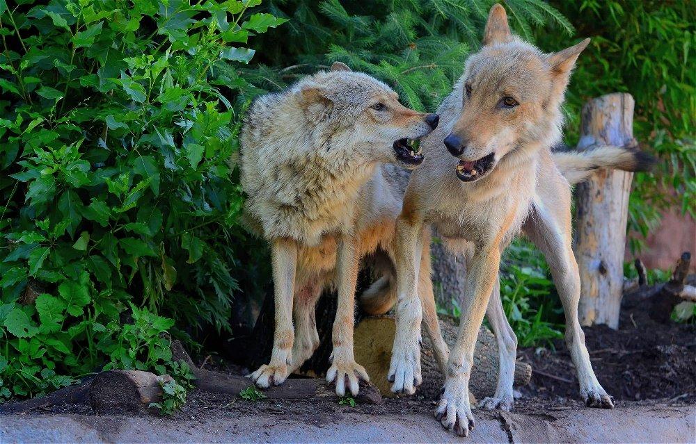 Волки Рада и Тарзан - Иван