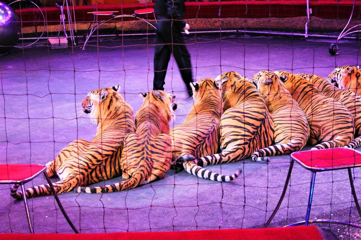 Ап..и тигры у ног его.. - Александр Владимирович Никитенко