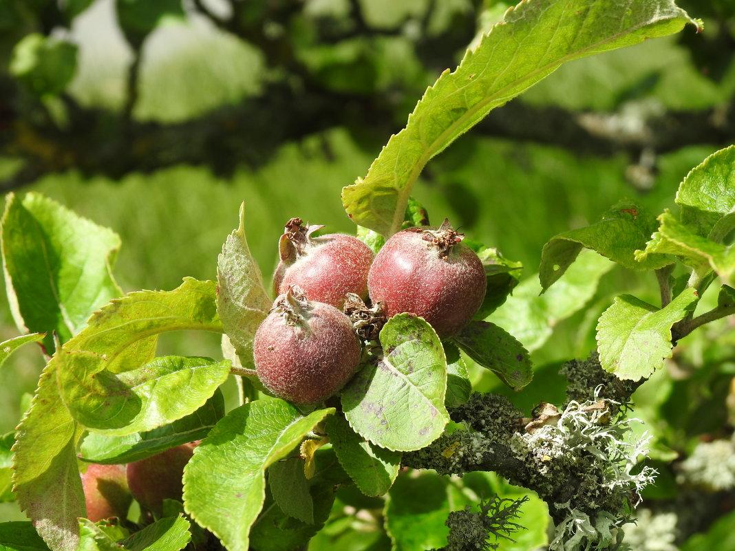 Дикие яблочки - Natalia Harries