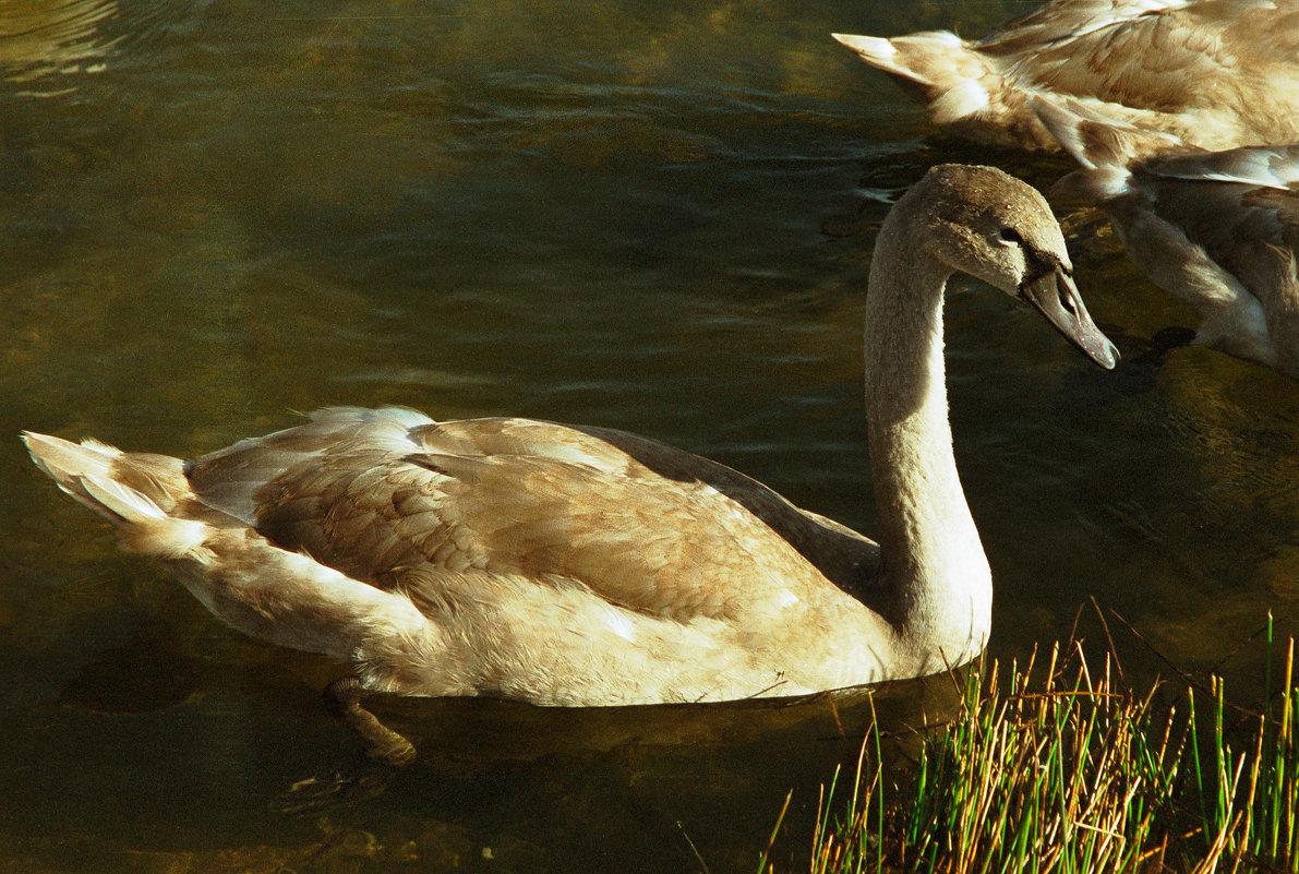 Молодой лебедь - Наталья