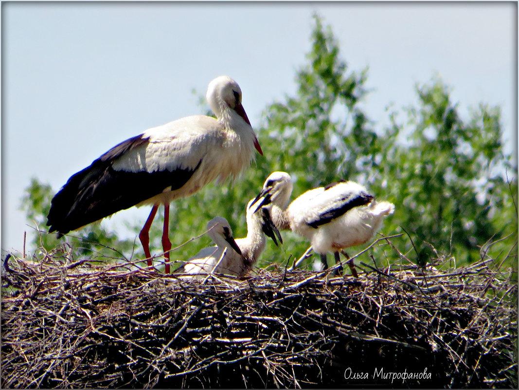 Один из родителей в гнезде с малышами. - Ольга Митрофанова