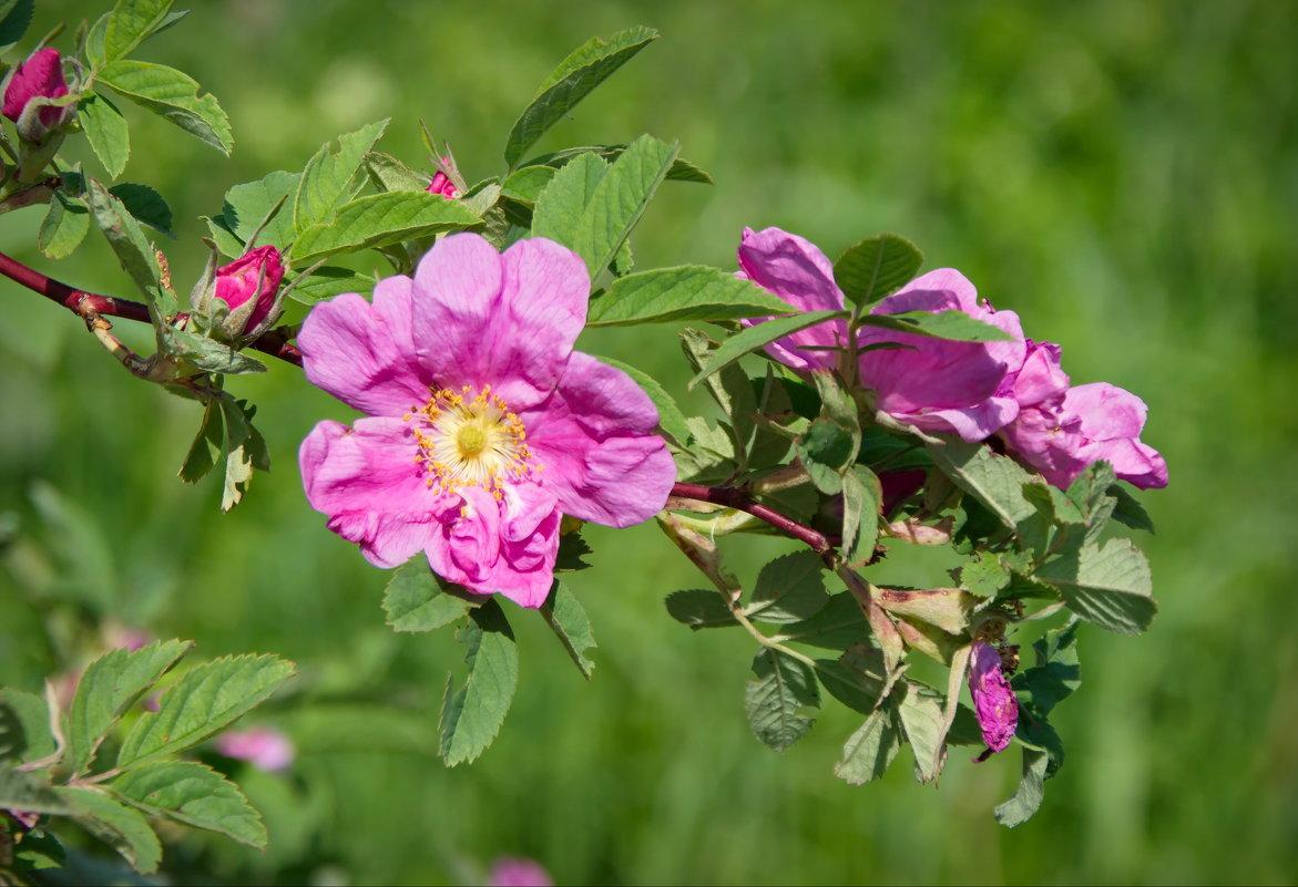 Цветение шиповника - lady v.ekaterina