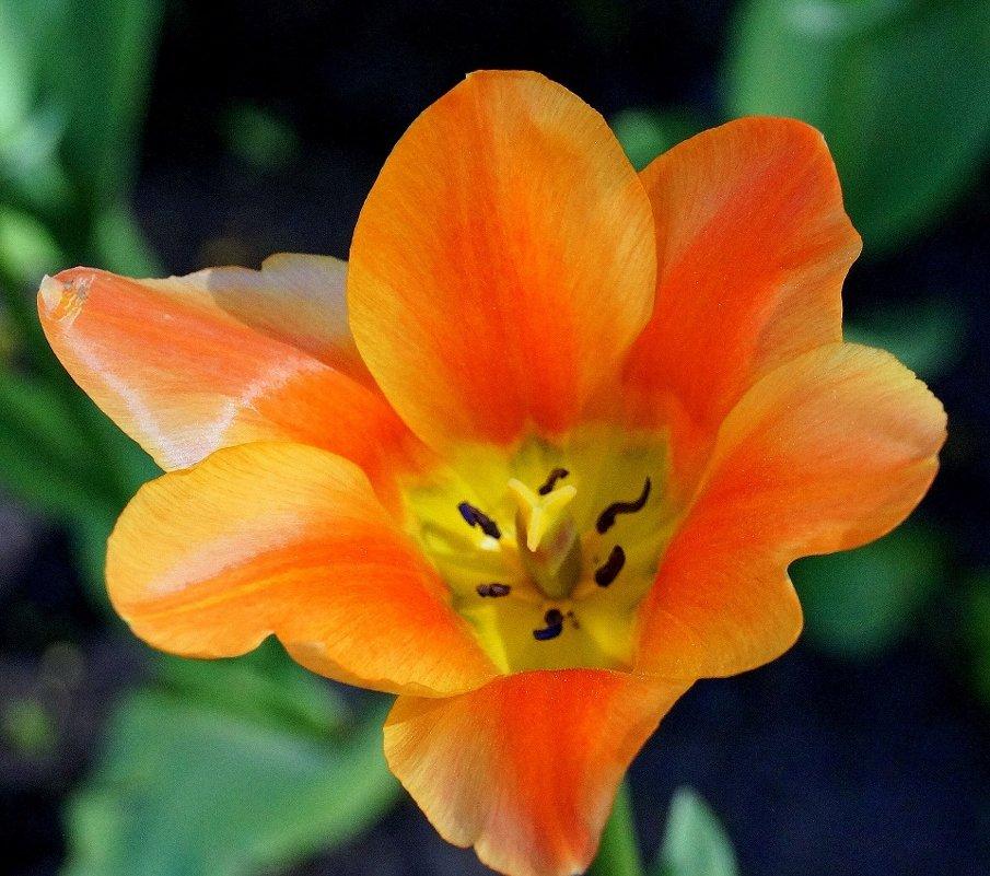 фестиваль тюльпанов - СВЕТА СВЕТА СВЕТ