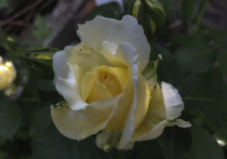 О том как цветут розы ...) - Светлана Мельник