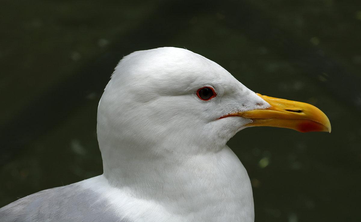 Портрет чайки - Светлана