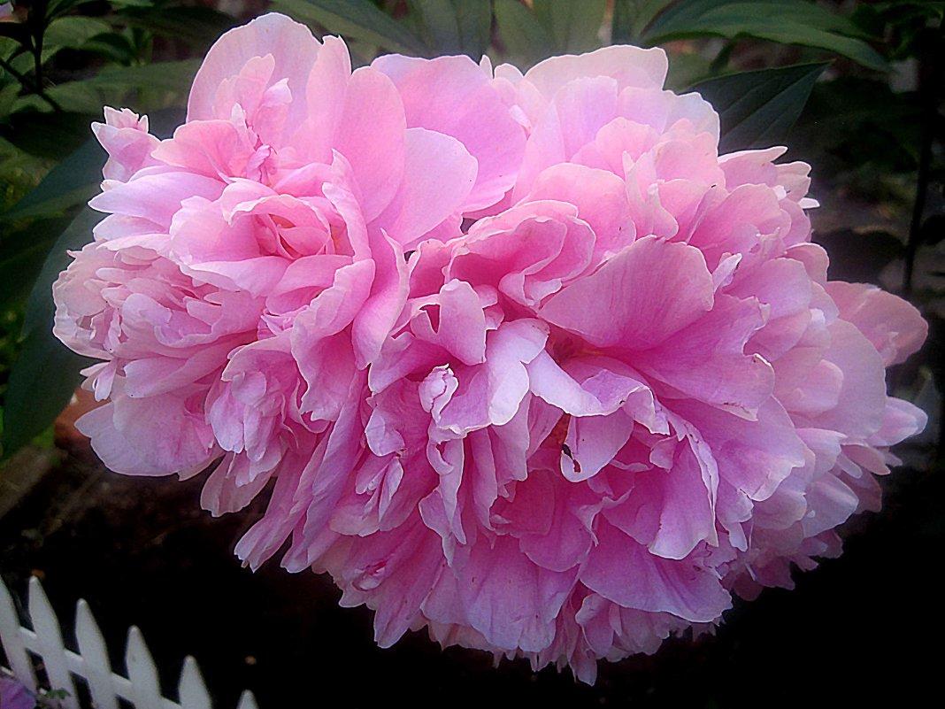 Розовая нежность пионов - Елена Семигина