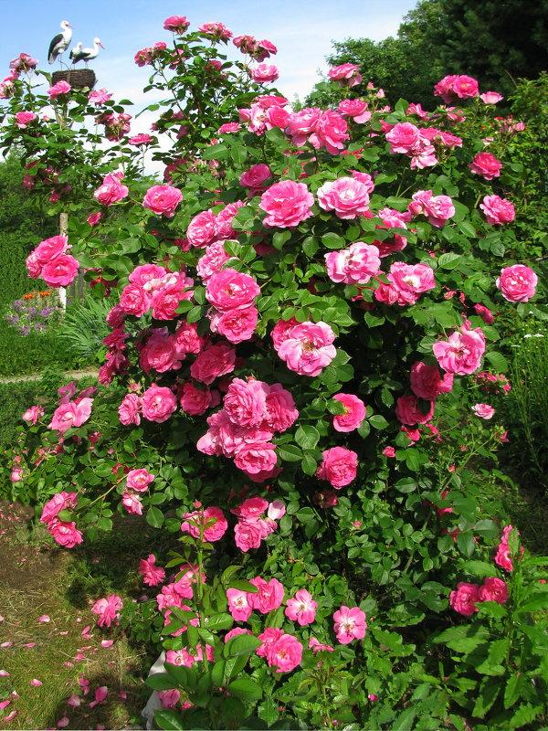 Розовая красота - sm-lydmila Смородинская
