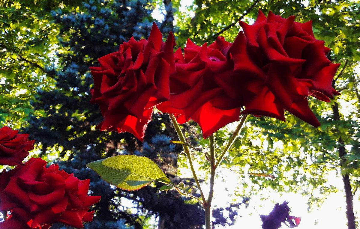 Розы - Vit