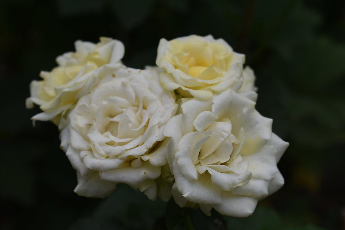 Роза ветров. - Константин