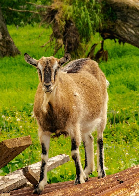 коза - petyxov петухов