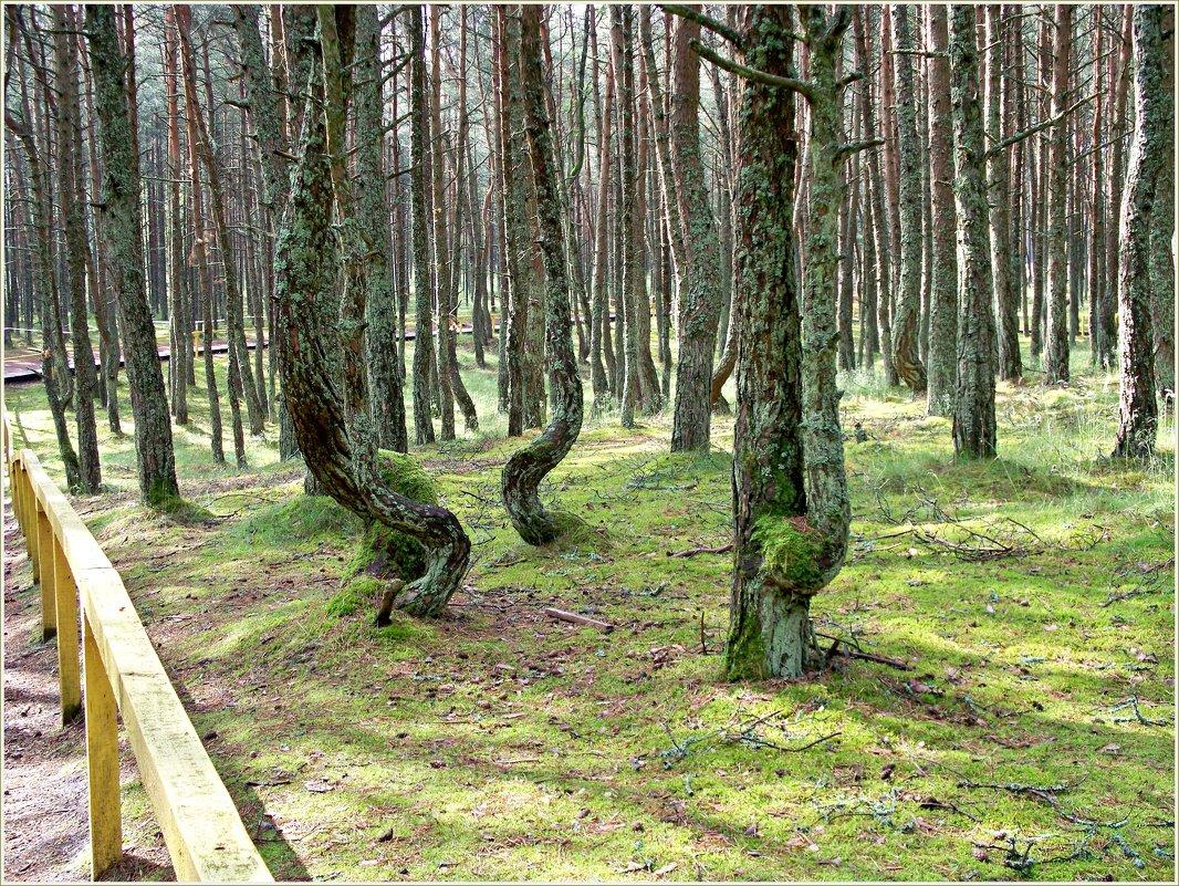"""Деревья """"Танцующего леса"""". - Валерия Комова"""