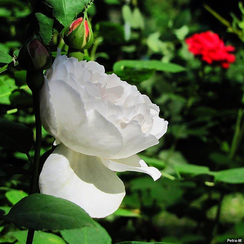 Белая роза - Маргарита