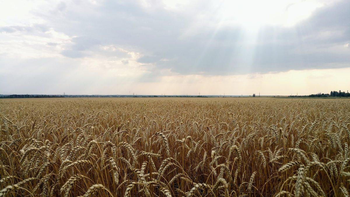 Пшеничное поле - Дмитрий