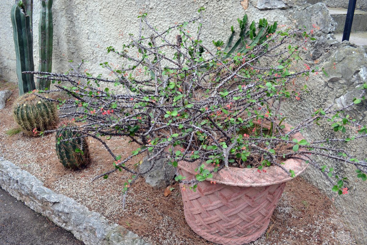 Сад кактусов - Ольга