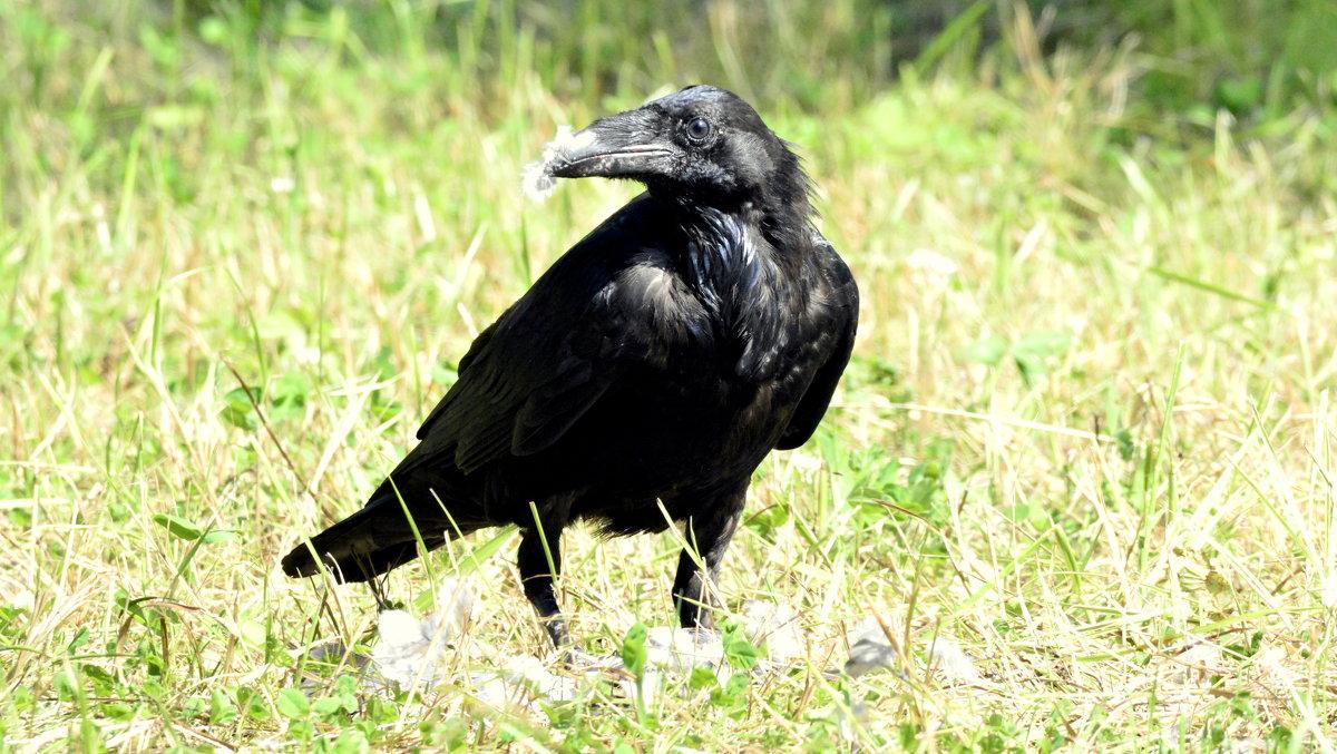 Завтрак ворона на траве   5 - Сергей