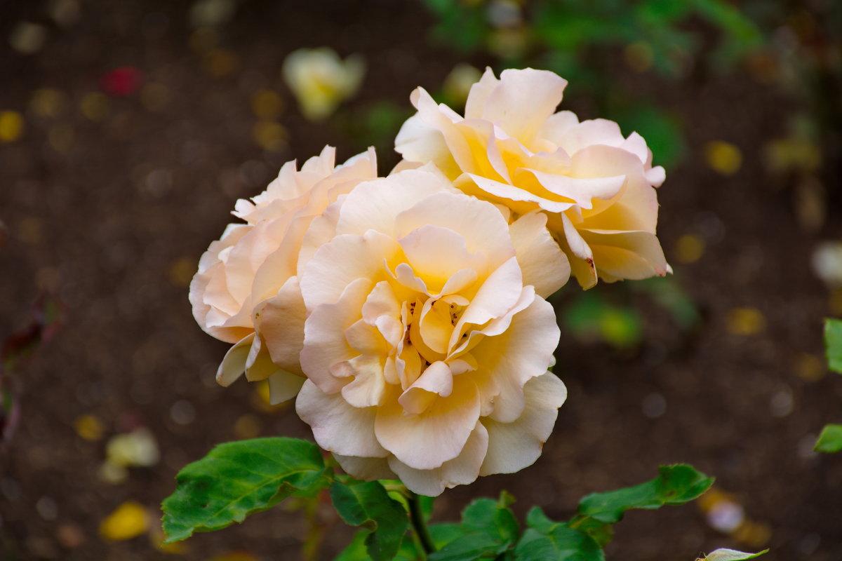 роза чайная - Валентина Папилова