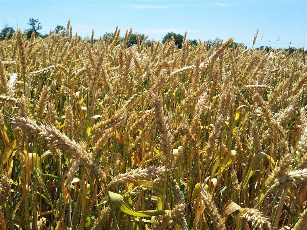 Пшеница - Алла ZALLA