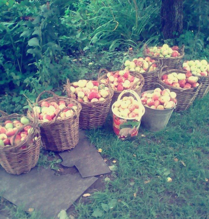 яблоки  и  яблочный  спас - Наталья Чернушкина