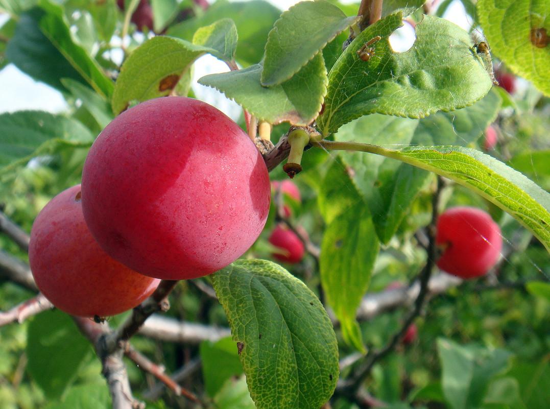 Слива в Сибири посадка и уход: выращивание на Урале