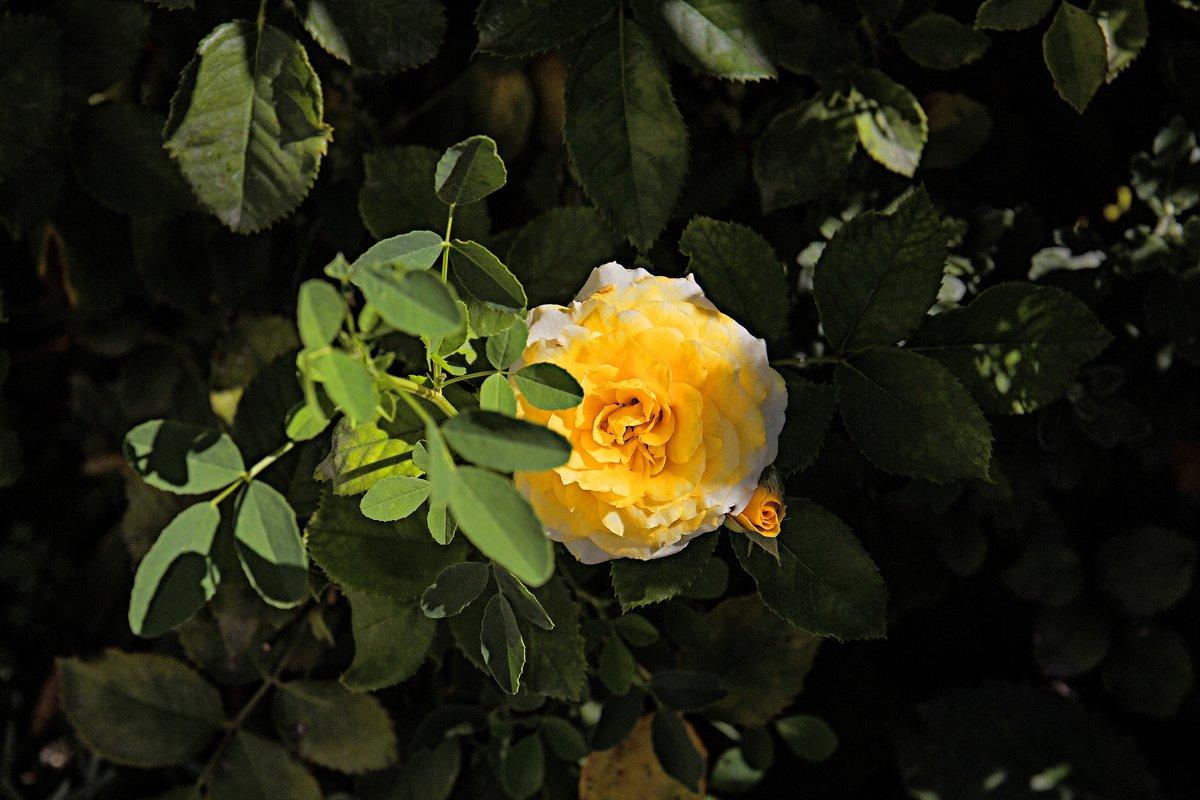 роза - Валентин Семчишин