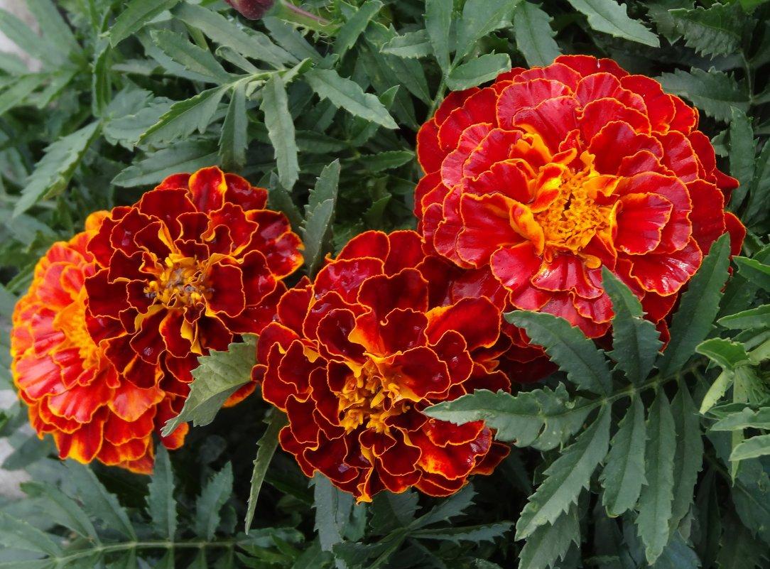 Цветут бархатцы - Натала ***