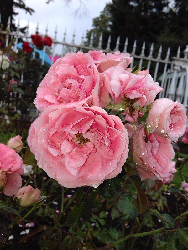 Розы - Сапсан