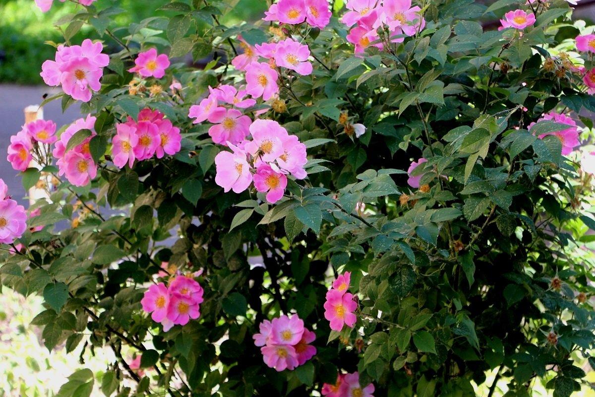 Цветущий шиповник в нашем дворе - Надежд@ Шавенкова