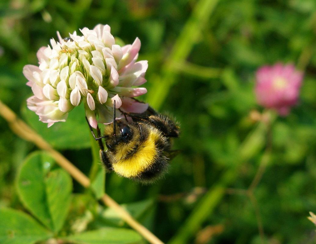 Пчела на клевере - Иван Семин