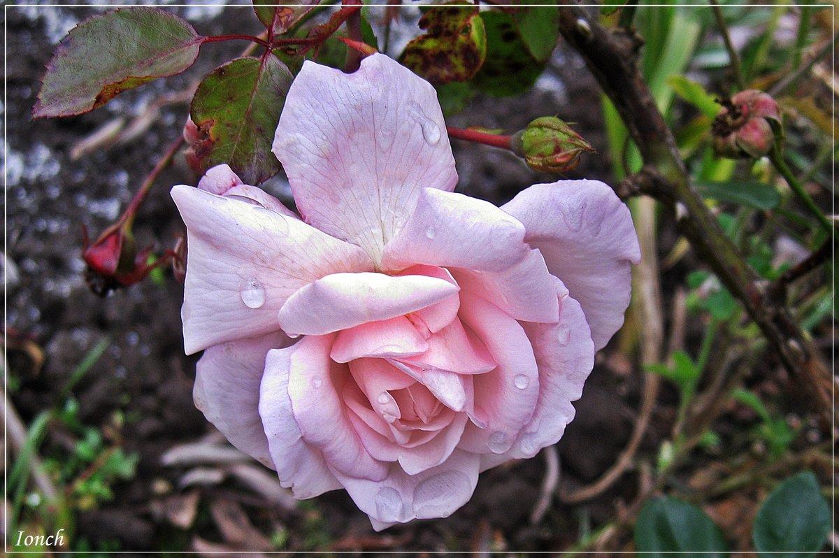 Октябрьская роза. - muh5257