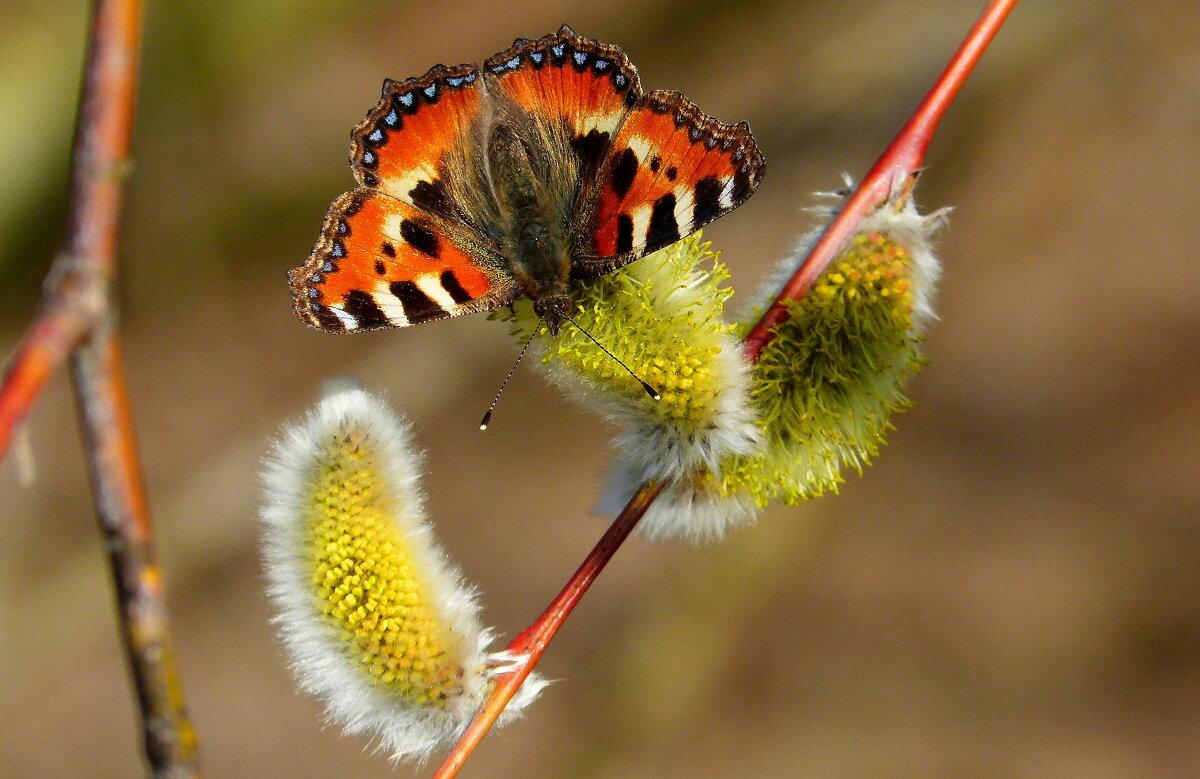 опять бабочки...13 или вспоминая весну... - Александр Прокудин