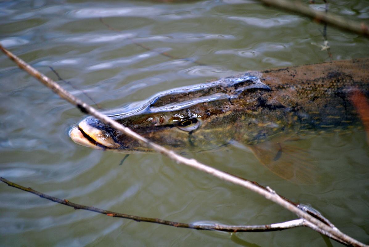 весной в пруд с разнообразной рыбой щука в пруду