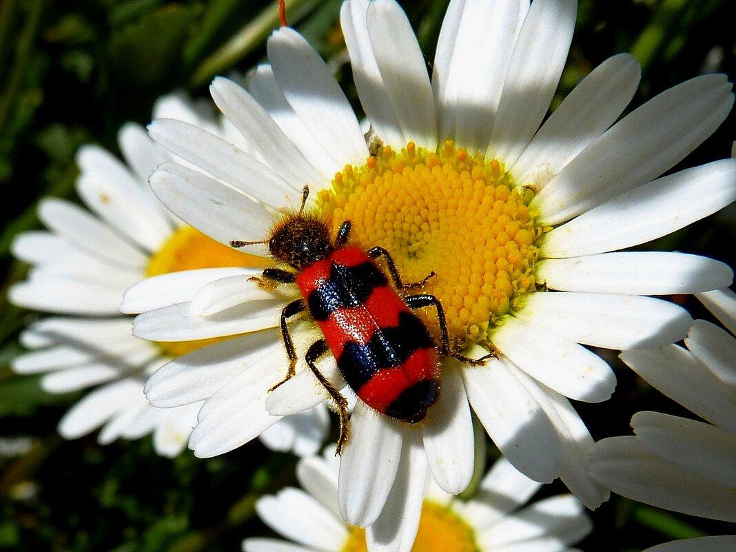 Пчеложук шагает по ромашкам... - Лидия Бараблина