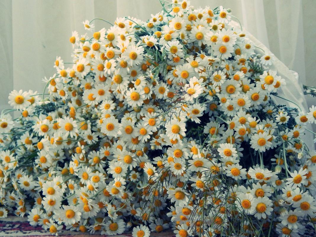 Фото ромашек букет полевых