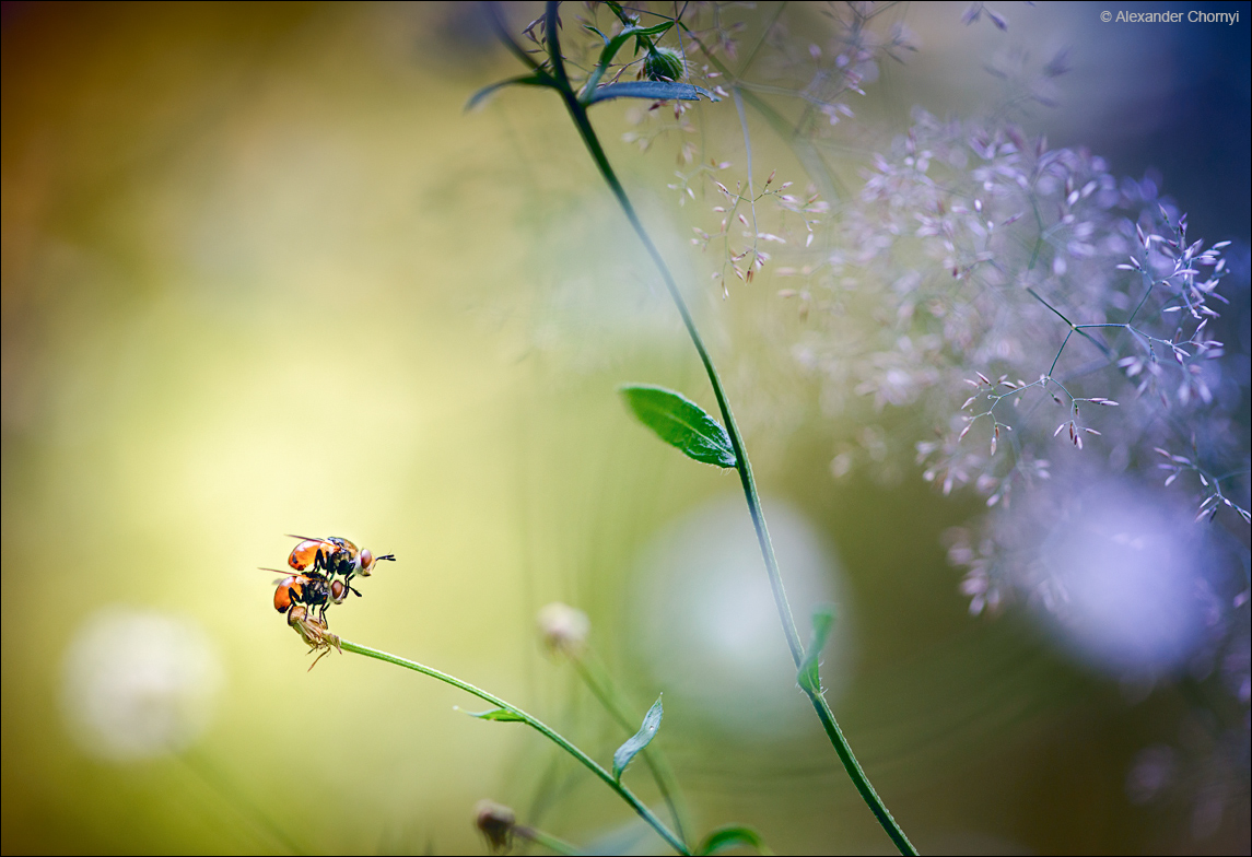 Муха по полю пошла, муха мухера нашла... Александр Чорный