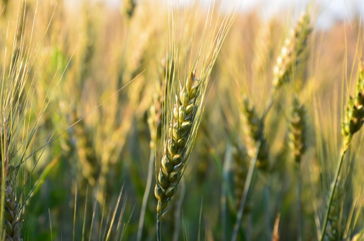 Пшеница - Oleg Zubak
