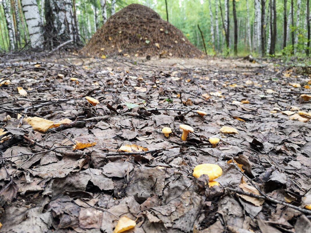 Лисички и муравейник - Валерий Судачок
