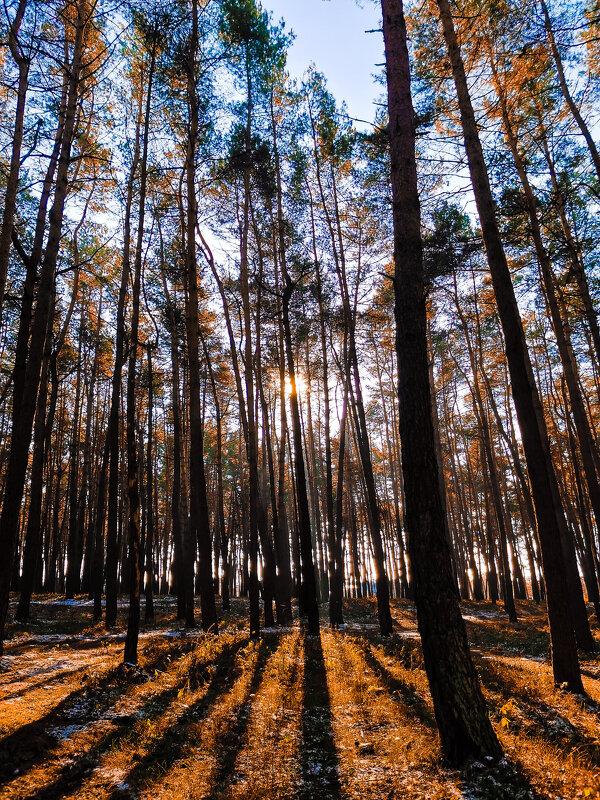 Зимний сосновый лес - Сергей Сошко