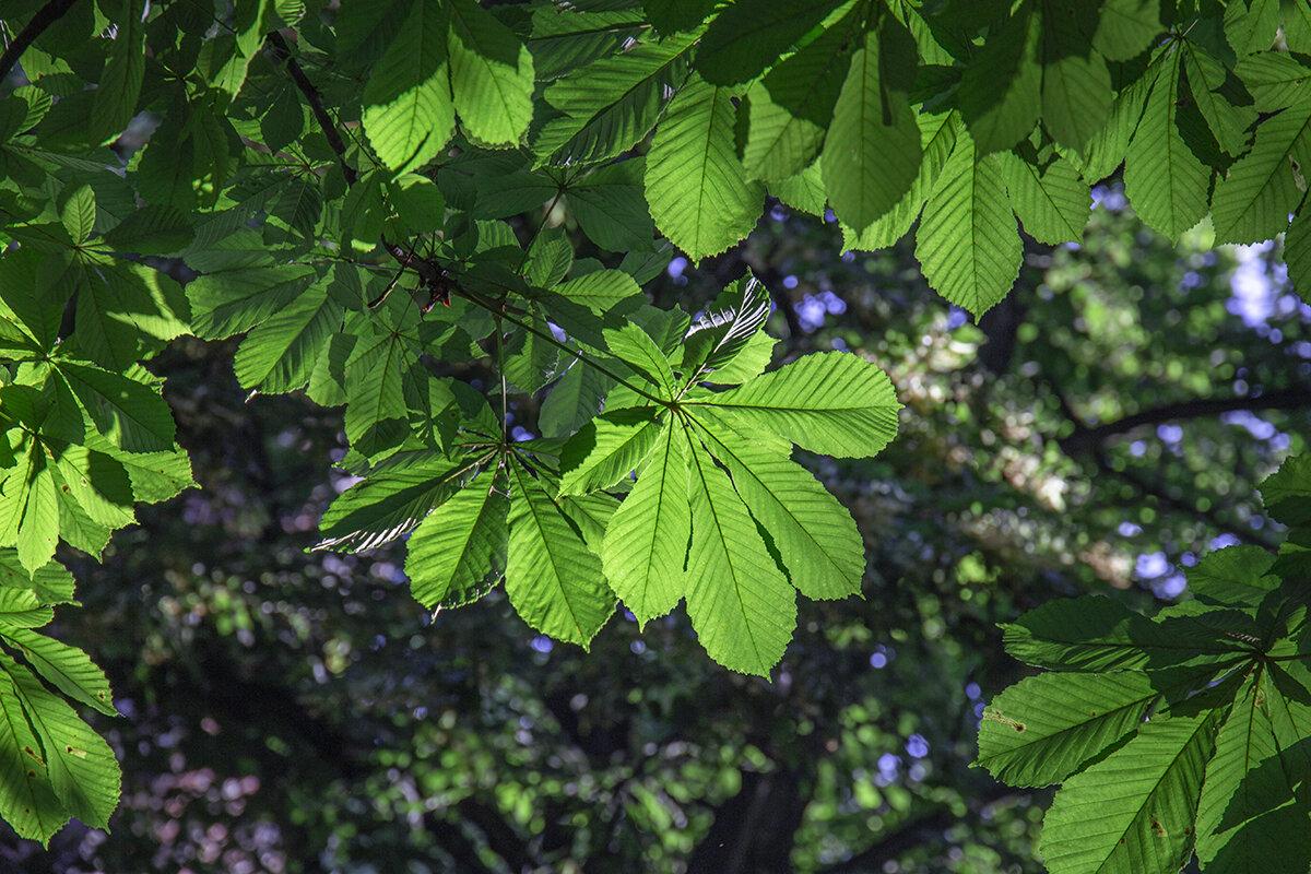 Лист, как веер, стройный стан, это дерево — каштан) - Светлана Карнаух