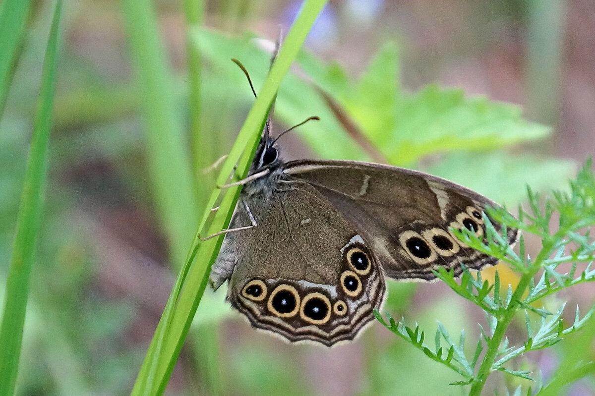То ли бабочка, а то ли виденье... - Галина Кан