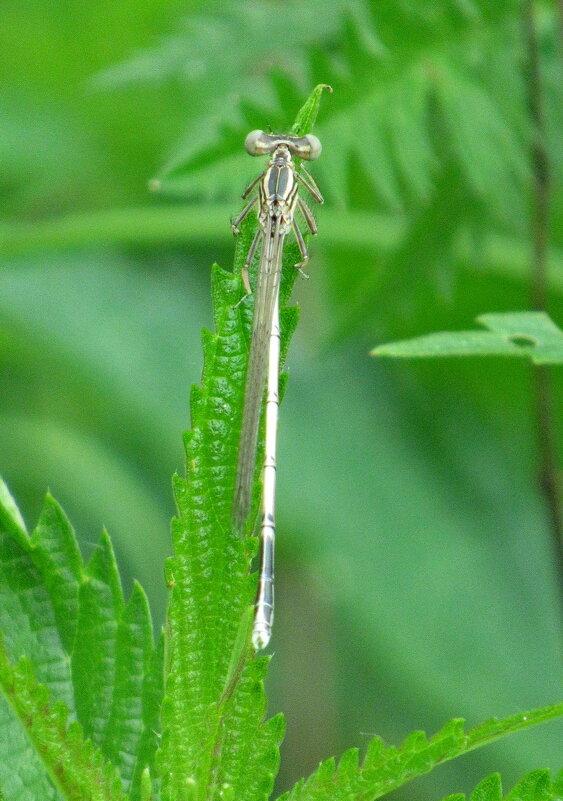 Стрекоза плосконожка  Platycnemis pennipes. :) - Александр Чеботарь