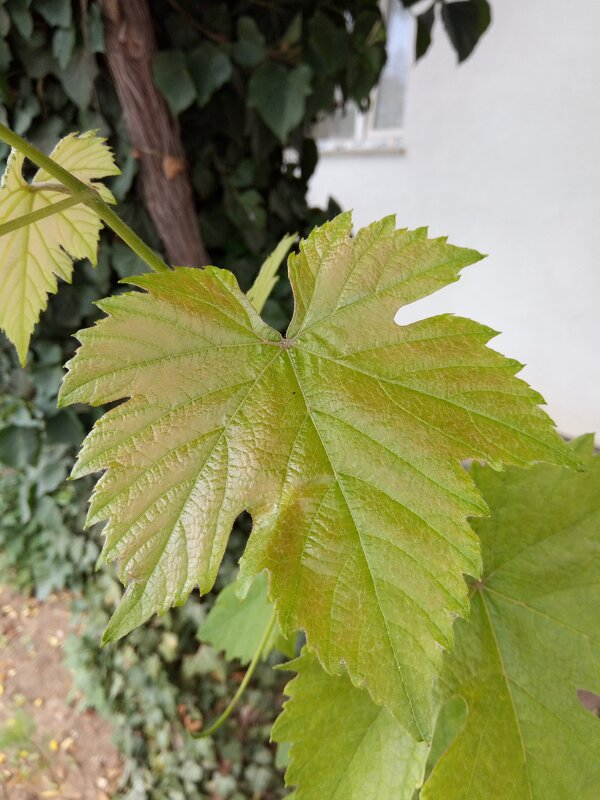 Лист винограда - Giant Tao /