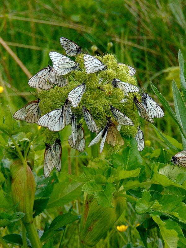 Лето,бабочки... - nadyasilyuk Вознюк