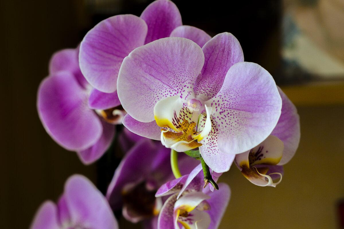 орхидея - Елена