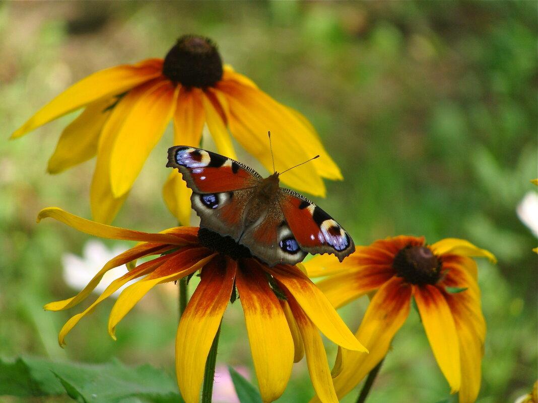 Рудбекия и бабочка - Лариса