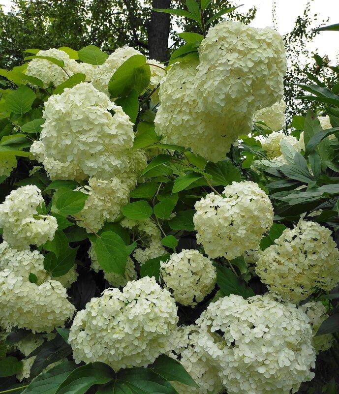 Воздушная гортензия в моем саду - Yulia Raspopova