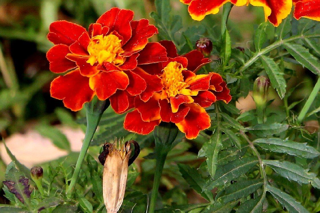 Цветы осеннего двора - Надежд@ Шавенкова